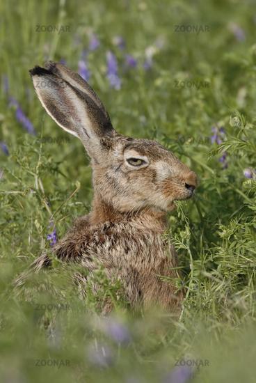Mr. Cool... European Hare *Lepus europaeus*
