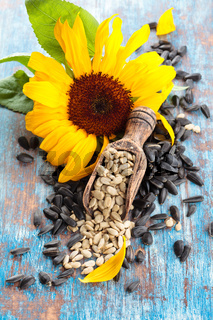 Sunflower and sunflower seed on blue rustic background.