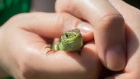 woman#39;s hands holding little green lizard