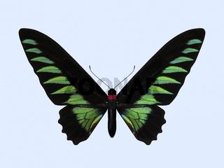 Rajah Brooke's Birdwing - Trogonoptera Brookiana