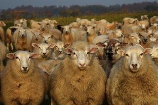 Schaf Gruppenfoto
