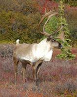 Male Caribou on fall tundra, Alaska Range