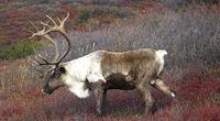 Male Caribou grazing on colorful fall tundra, Alaska Range