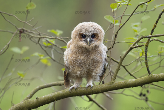 just cute... Tawny Owl *Strix aluco*