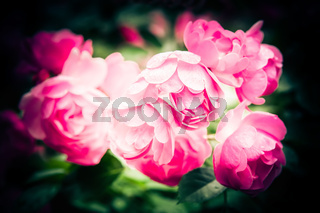 Abstract romantic pink roses flowers with water drops. Bright colors natural floral background