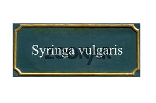 schild Syringa vulgaris, Gemeiner Flieder