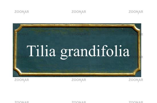 shield tilia grandifolia