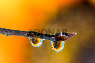Flower refraction in dew drops on a twig