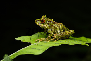 Neotropischer Frosch (Pristimantis eriphus)