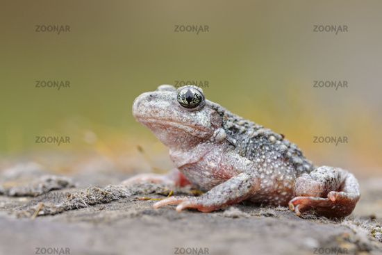 Common midwife toad *Alytes obstetricans*