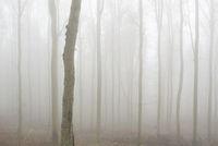 Nebelverhangener Buchenwald