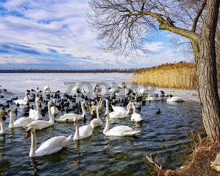 Winter Swan Lake