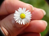 Daisy in the hand