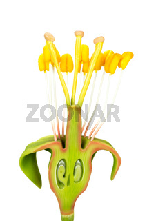 Flower model with stamens and pistils