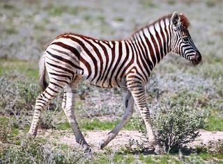 Junges Zebra, Steppenzebra, Etosha, Namibia, young Plains Zebra, Equus quagga