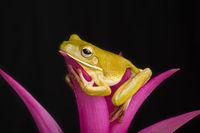 Giant Tree Frog on pink bromeliad