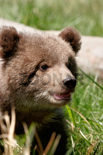 Portrait of Grizzly bear cub