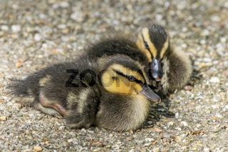 Young Mallard Ducklings