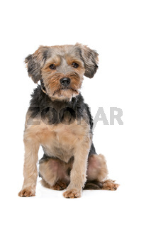 mixed breed Yorkshire Terrier
