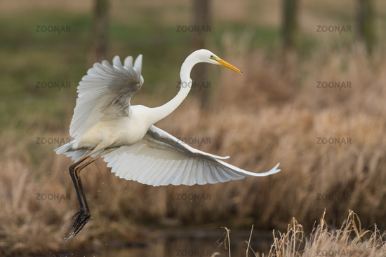 Great egret from Germany
