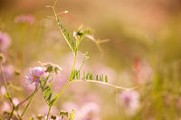 tendrils of Vicia or Vetch and pink Clover
