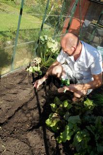 Valerianella, Feldsalat, Corn salad, säen im Gewächshaus