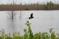 Bird flying away from flooded area