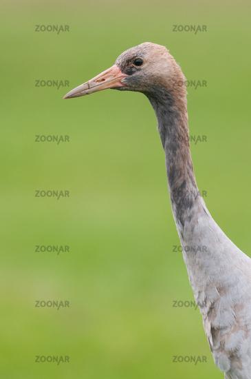 Common crane in Germany
