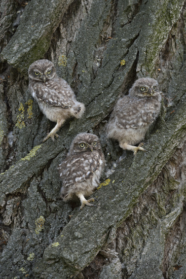 Fledlings... Little Owls *Athene noctua*