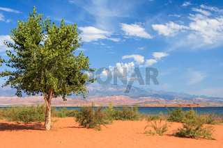 Lonely tree on th sandy beach in Sand Hollow State Park in Utah