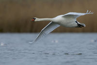 Mute Swan or White Swan, Cygnus olor, Germany