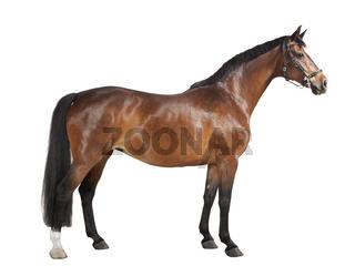 braunes Pferd freigestellt