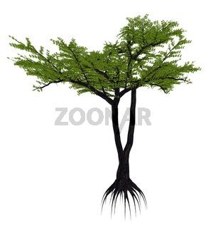 Umbrella thorn acacia tree, a. or vachellia tortilis - 3D render