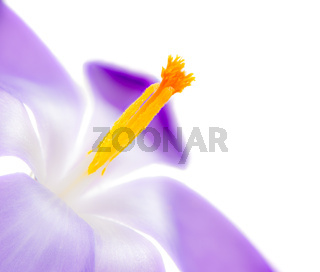 Isolated purple crocus flower blossom