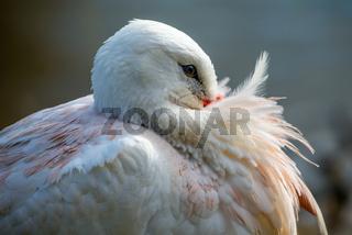 White stork at rest