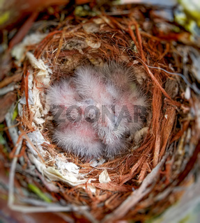 House Finch Babies