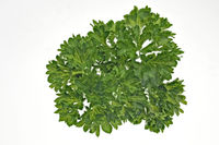 on a white background fresh and green parsley for cropping