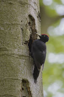 Black Woodpecker, Dryocopus martius