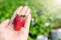 fresh strawberries in human hand