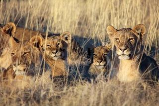 pride of lions resting at etosha national park namibia africa