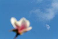 Pink magnolia blossom over evening sky and moon in