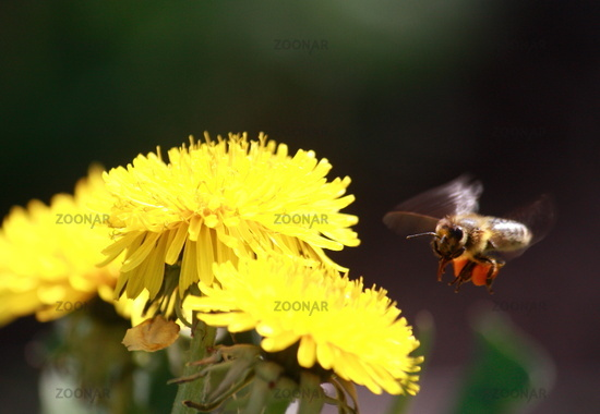 Bee flight to dandelion flower