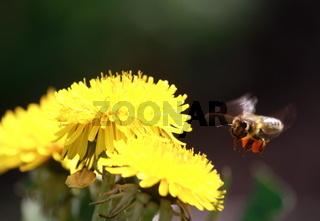 Bienenflug zur Löwenzahnblüte