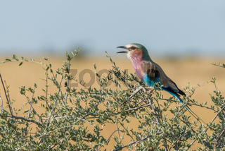 Lilac-breasted roller calling in branches of bush
