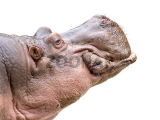 Hippo head on white