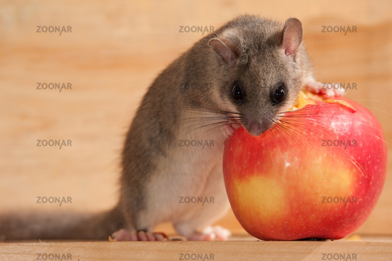 dormouse ,glis glis