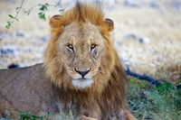 lion having rest in etosha national park namibia
