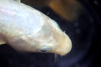 close up macro of a white large goldfish in water