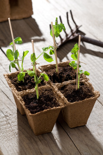 Young peas plants