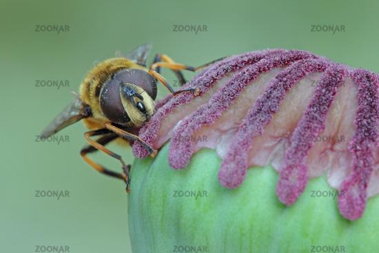 Flower fly (Myathropa florea)